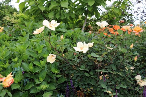 ミセス オークリーフィッシャーはアプリコット色に琥珀色を帯びた花色です