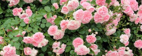 淡い桃色で弁芯は濃いピンク色