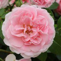 カップ咲きからロゼット咲きへ変わる