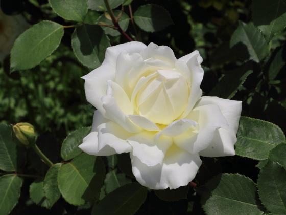 ネージュパルファンはハイブリッドティ系統のバラ