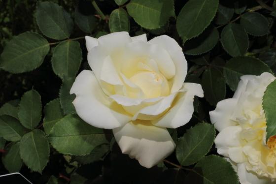 花名は「香る雪」という程の芳香があるバラ
