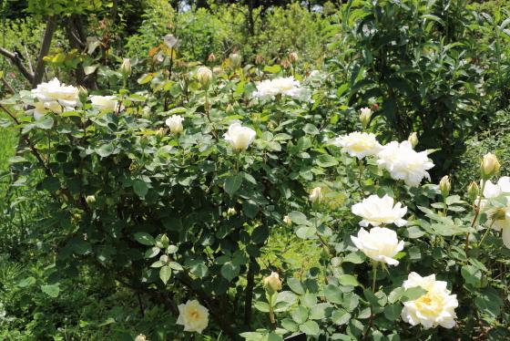 ネージュパルファンは四季咲き性