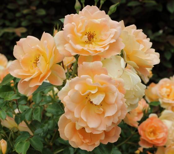 ナイスン イージーは花つきがとてもよい品種です