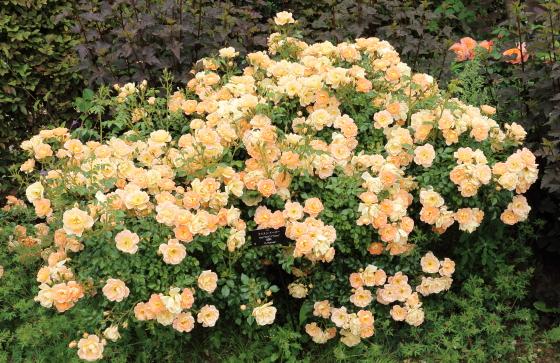 春の開花後も秋まで繰り返し咲きます