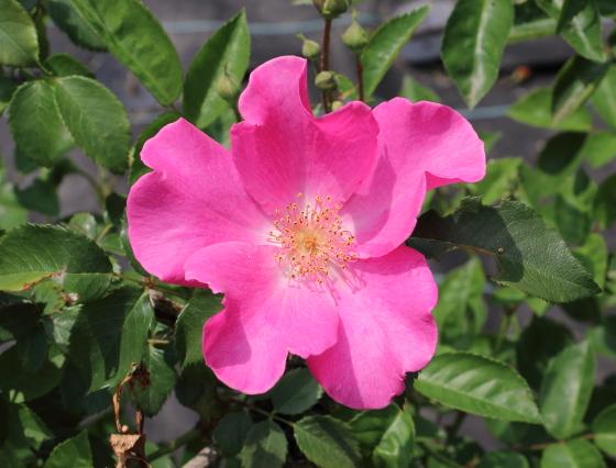 プレイガールはフロリバンダ系統のバラ