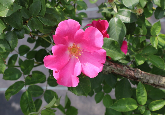 プレイガールはローズ色の一重咲き