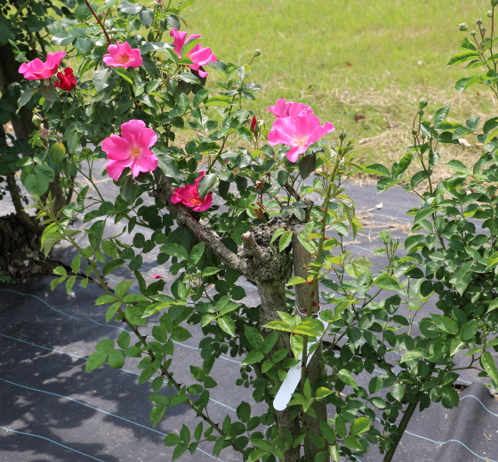 プレイガールは鉢栽培にも適している