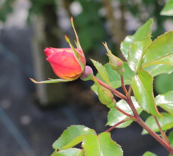 プレイガールは四季咲き性