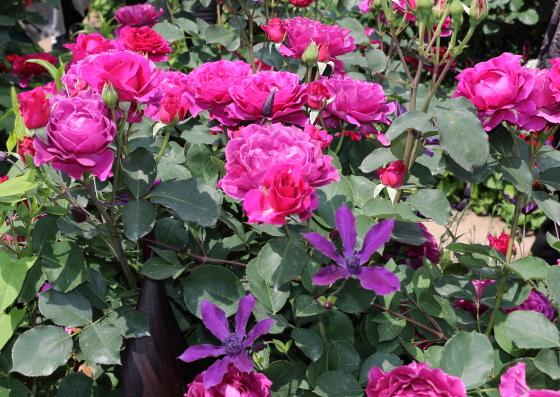 赤紫色の丸弁カップ咲き