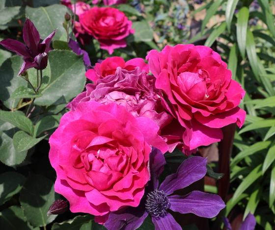 低温期には更に深みのある色になるバラ