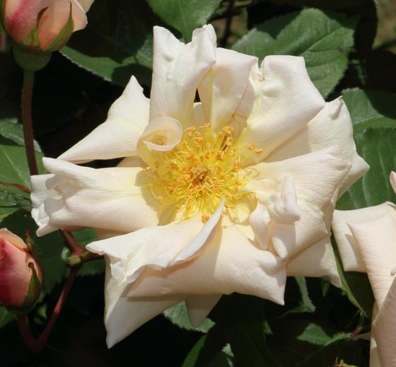 サフラノは珍しいティー系統のバラ