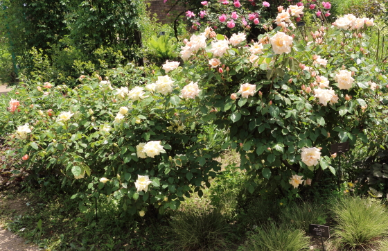 オールドローズ系統のバラ