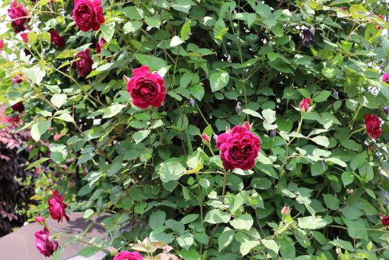 フランスのMeilland作出のバラ