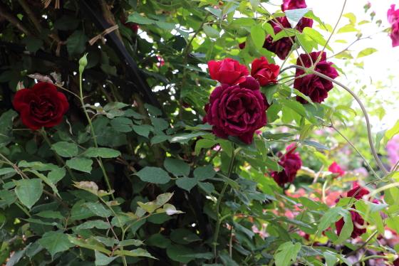 数輪の房咲きになり花つきがよい