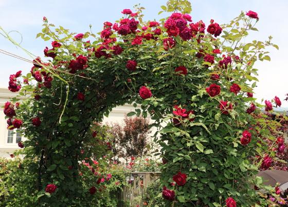 セネガルは大輪咲きつるバラ