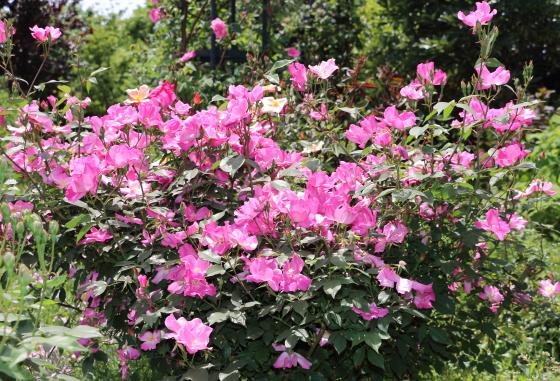 シングルピンクは半横張り性の樹形