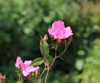 シングルピンクは数輪の房咲きで、多花性のバラ