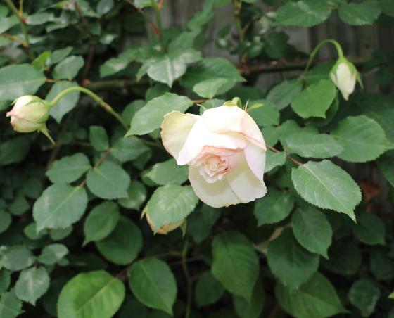 数輪の房咲きになるブノワマジメル