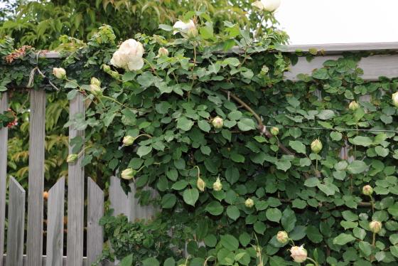 アイボリー色の上品な雰囲気のバラ