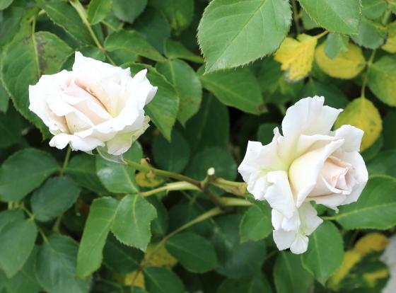 ダイヤモンドグレーは四季咲き性のシルバーグレー色の花色