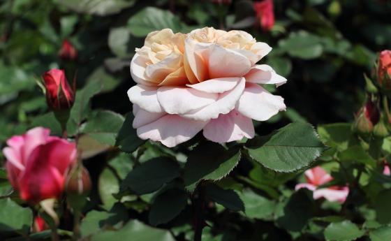 丸弁ロゼット咲きの花形