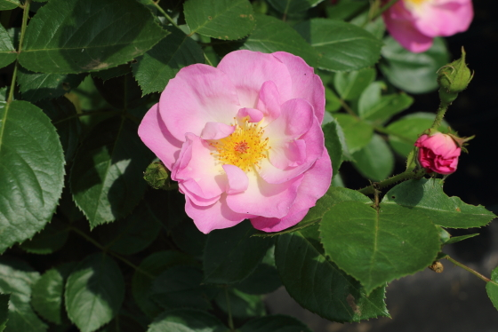 大きな房咲きになり花つきがよいバラ