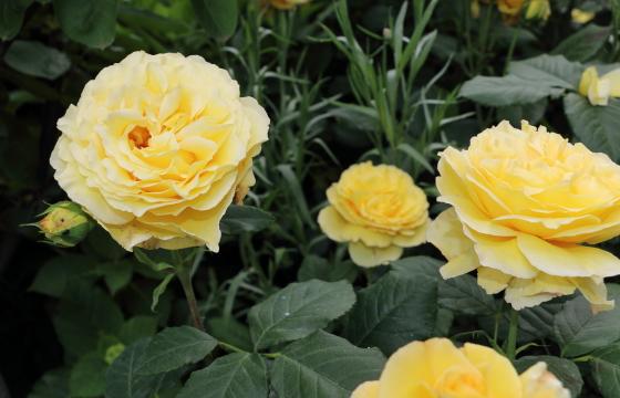 黄色の大輪サイズのバラ