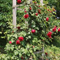 リリーマルレーンはフロリバンダ系統のバラ