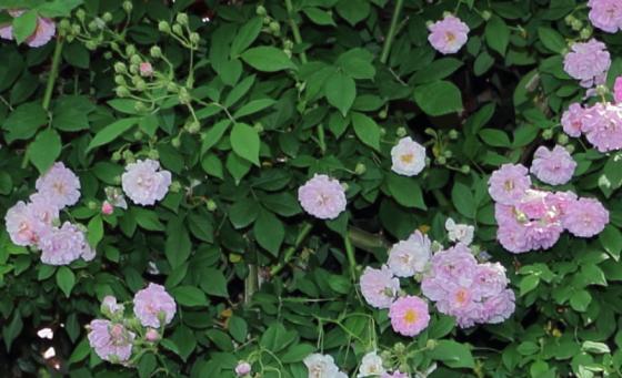 一季咲きの小輪花