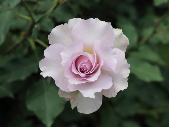ニュー ウェーブはハイブリッドティー種のバラ