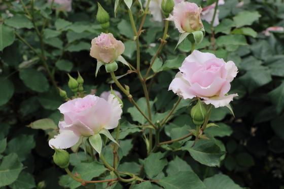 花形は丸弁平咲き