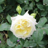 ノース フレグランスは四季咲き性のバラ