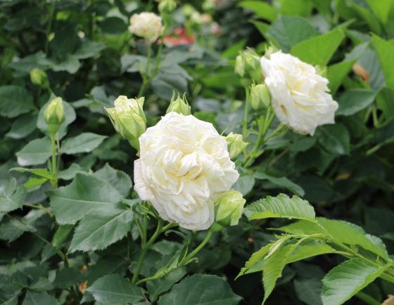 ノース フレグランスはフロリバンダ系統のバラ