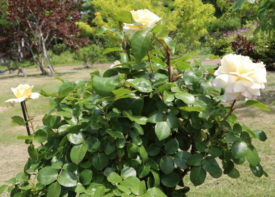 ノースフレグランスは四季咲きです