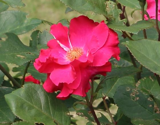 花径は約7cmの中輪花
