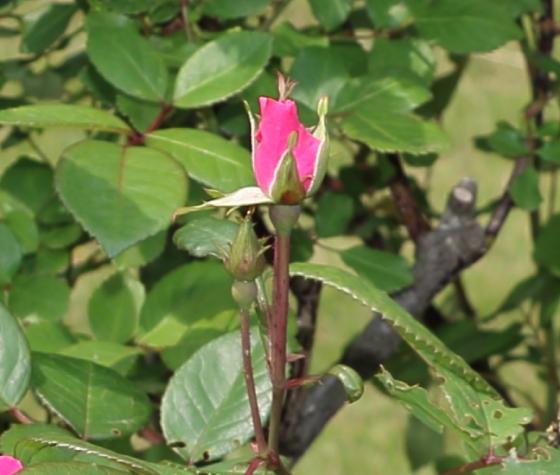 半八重平咲きの花容