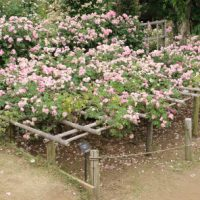 ローブリッターは一季咲き品種です