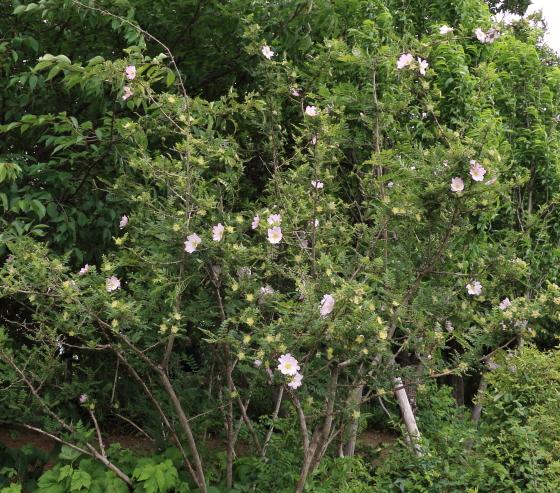 一季咲きのバラ