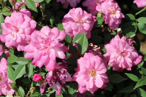 ロサ キネンシス ミニマは四季咲き性
