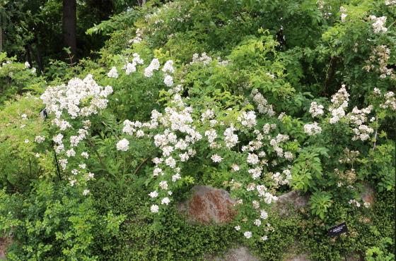 原種系統のバラ