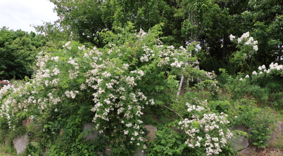 ロサ ムルティフロラは日本原産のバラ