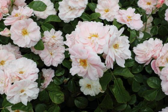 フロリバンダ系統のバラ