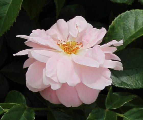 ロゼット咲きの中輪サイズ