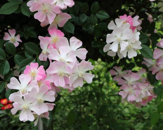 桜木は四季咲き性が強く秋まで咲き続ける