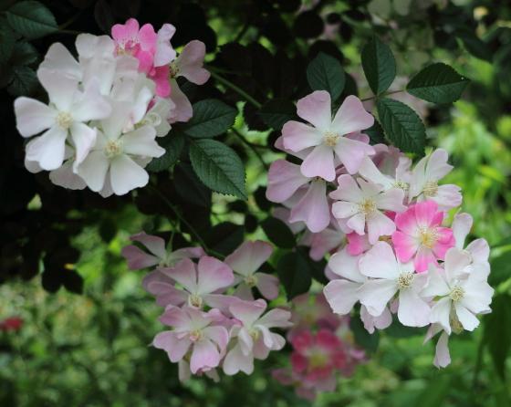 桜木はフロリバンダ系統のバラ