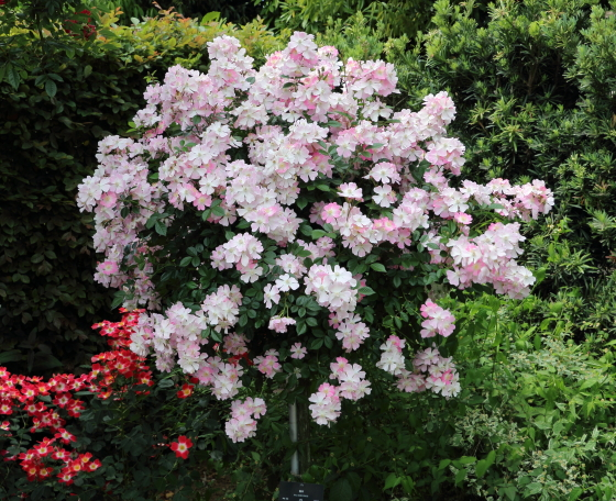 多花性で満開になると株を覆うように咲く
