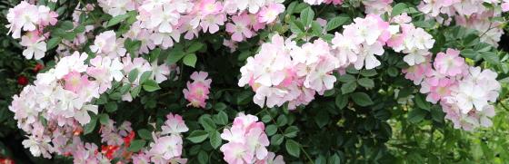桜木は耐病性に優れている