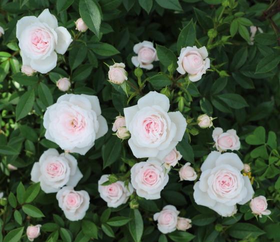 花つきはよいが雨により傷みやすい