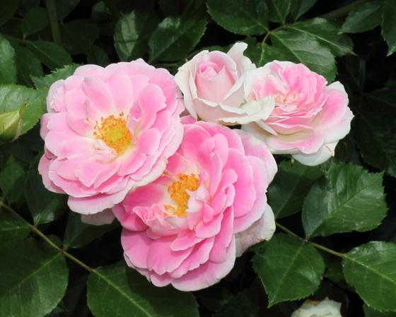 シェアリング ア ハピネスは四季咲き性
