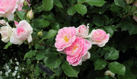 シェアリング ア ハピネスは大きめの房咲きになり花つきがよい